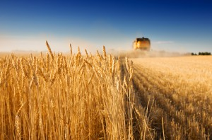 Image of wheat fields and a harvester, copyright Microsfoft