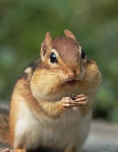 Image of chipmunk face, copyright Microsoft